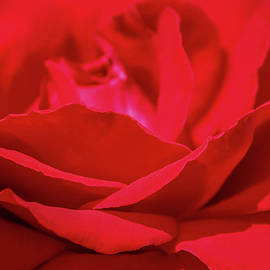 Marnie Patchett - Red Red Rose