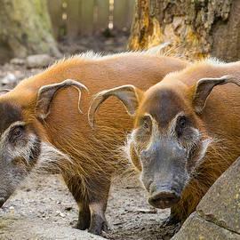 Allan Morrison - Red River Hogs