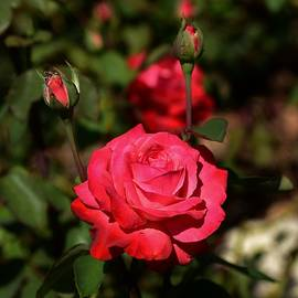 Linda Brody - Red Rose and Buds