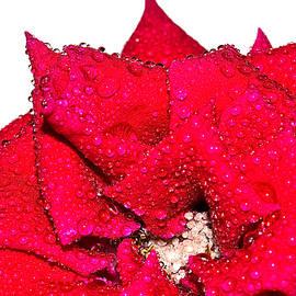Natalya Myachikova - Red rose in drops of rain