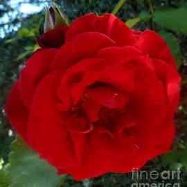 Anna Folkartanna Maciejewska-Dyba - Red Rose in the Garden
