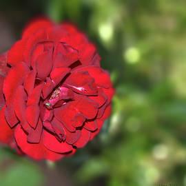 Uma Krishnamoorthy - Red rose