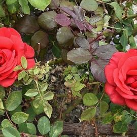Linda Brody - Red Roses