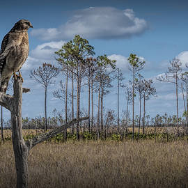 Randall Nyhof - Red Shouldered Hawk in the Florida Everglades
