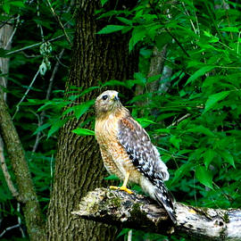 Nancy Spirakus - Red Shouldered Hawk Ohio