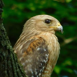 Nancy Spirakus - Red Shouldered Hawk Profile Ohio