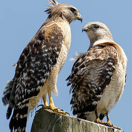Phil Stone - Red-shouldered Hawks making out