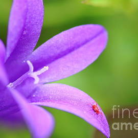 Gregory DUBUS - Red spider mite on Campanula flower