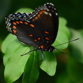Maria Urso  - Red-Spotted Purple Butterfly 15-04