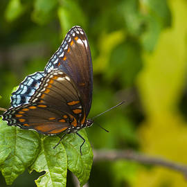 Gerald DeBoer - Red-spotted Purple