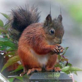 Lynn Bolt - Red Squirrel in the Rain