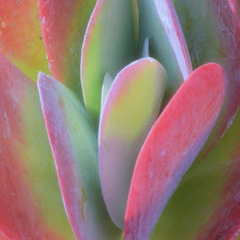 Luv Photography - Red Succulent