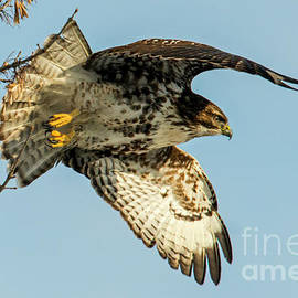 Red-Tail  Takeoff - Mike Dawson