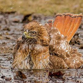 Morris Finkelstein - Red-Tailed Hawk Bathing