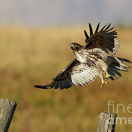 Beve Brown-Clark Photography - Red-tailed Hawk