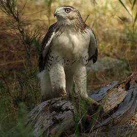 James Peterson - Red-tailed Hawk
