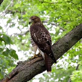 John Franke - Red Tailed Hawk