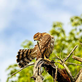 Geraldine Scull   - Red Tailed Hawk Preening