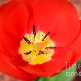 Claudia Mottram - Red tulip