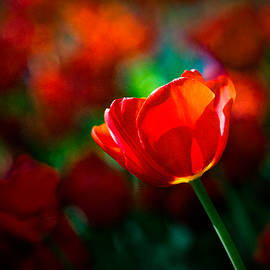 Alexander Senin - Red tulip - Magic