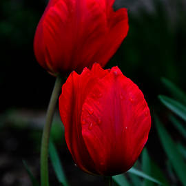 Damijana Cermelj - Red tulips 2