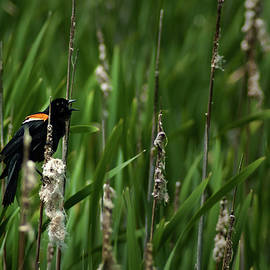 Onyonet  Photo Studios - Red-winged Blackbird Calling