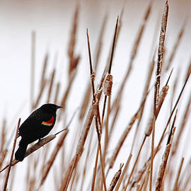 Debbie Oppermann - Red Winged Blackbird