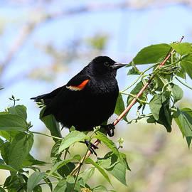Judy Whitton - Red-winged Blackbird