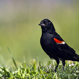 Marcia Colelli - Red-winged Blackbird
