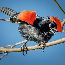 Morris Finkelstein - Red-Winged Blackbird Stare