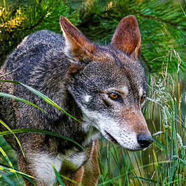 Athena Mckinzie - Red Wolf In The Green Grass