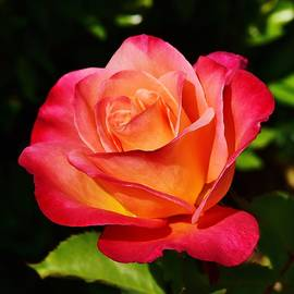 Linda Brody - Red Yellow Rose IV