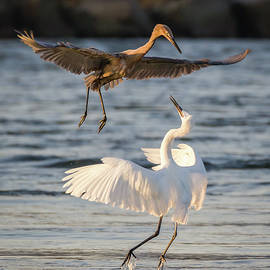 Dawn Currie - Reddish Egret Confrontation