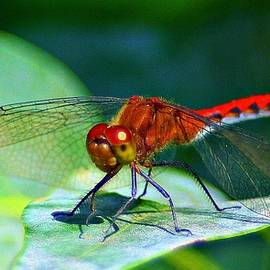 Barbara S Nickerson - Redheaded Dragonfly