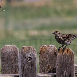 Alana Thrower - Redwing Blackbird Hen