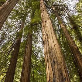 Bob Phillips - Redwood Canopy