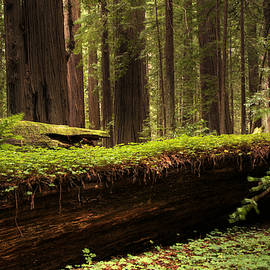Bob Christopher - Redwoods 1