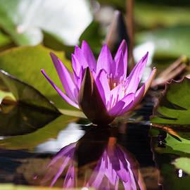 Suzanne Gaff - Reflection in Fuchsia