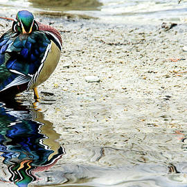 Geraldine Scull - Reflections of a sleeping wood duck