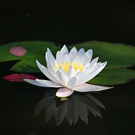 Trina  Ansel - Reflections of a Water Lily