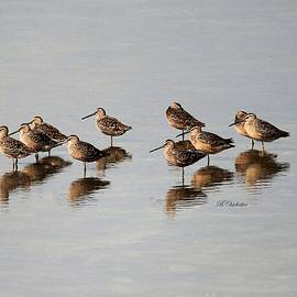 Barbara Chichester - Reflections of Dowitchers
