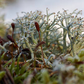 Jouko Lehto - Reindeer moss on a cold morning