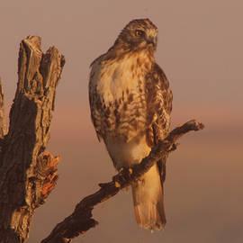 Jeff  Swan - Resting hawk
