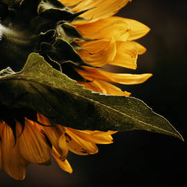 Douglas MooreZart - Reticent Sunflower