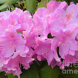 Emmy Marie Vickers - Rhododendron Beauty1