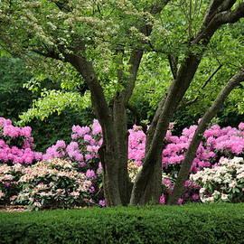 Rosanne Jordan - Rhododendrons at Cantigny Gardens