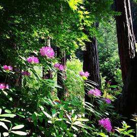 Amy Beam - Rhododendrons Under Maples Under