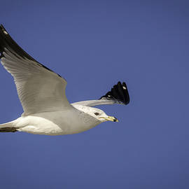 Jamie Anderson - Ring Billed Gull