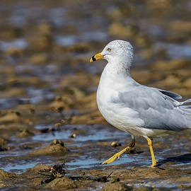 Rick Higgins - Ring-billed Gull