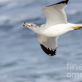 Debra Martz - Ring-billed Seagull Looking for Attention